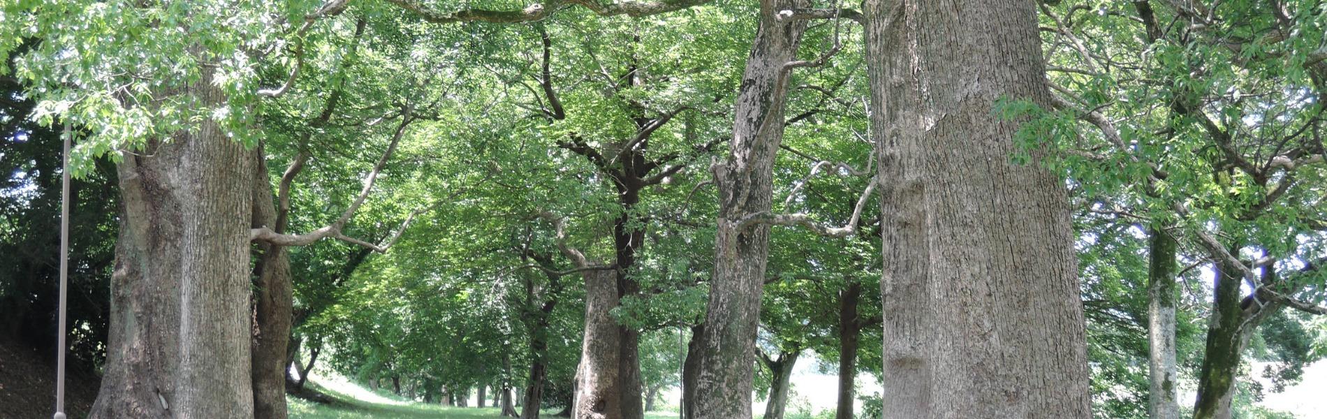 千間土居の楠木